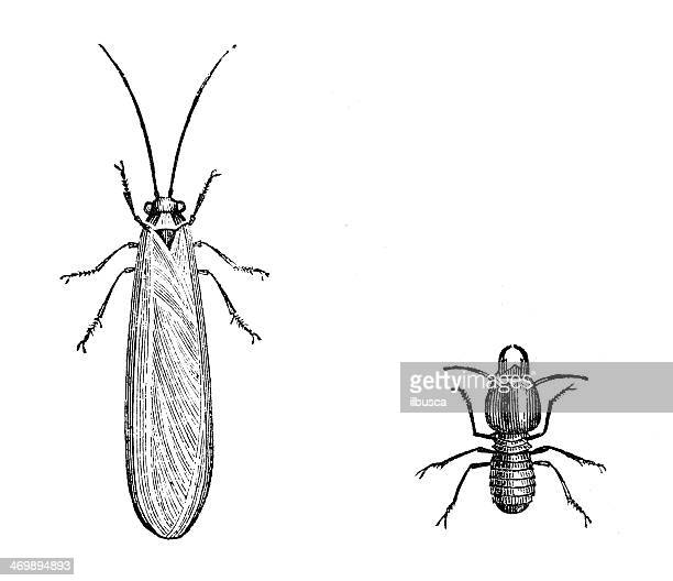 Antique illustration of lacewing-fly (Neuroptera Planipennia)