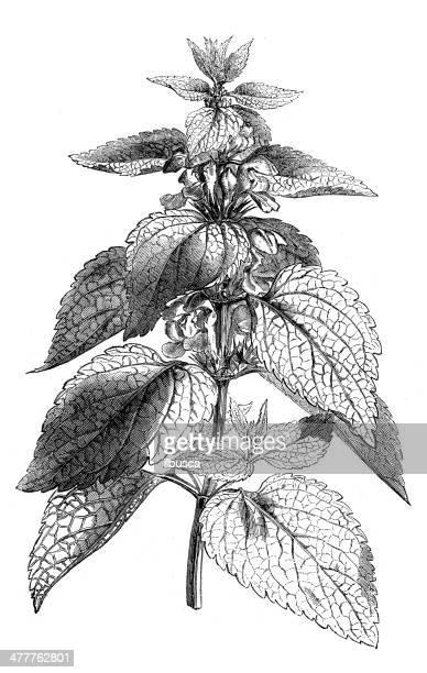 Antique illustration of Lamium album (white nettle)
