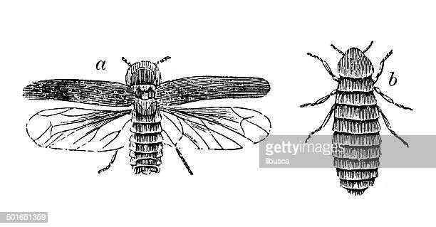 Antique illustration of Lampyris noctiluca (glow-worm)