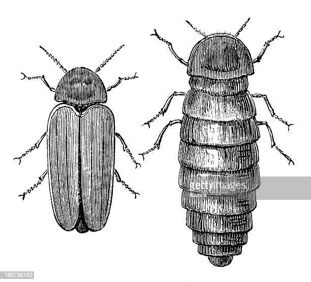 Antique illustration of Lampyris Splendidula firefly