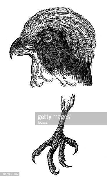 ilustrações de stock, clip art, desenhos animados e ícones de antiguidade ilustração de rir falcon (herpetotheres cachinnans) - falcon bird