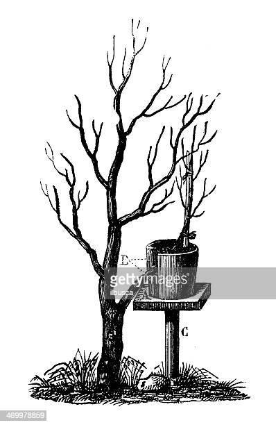 Antique illustration of Layering (plant propagation)
