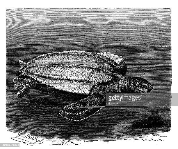 Antique illustration of leatherback sea turtle (Dermochelys coriacea)