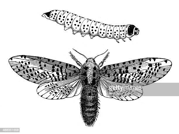 Antique illustration of Leopard Moth (Zeuzera pyrina) and its larva
