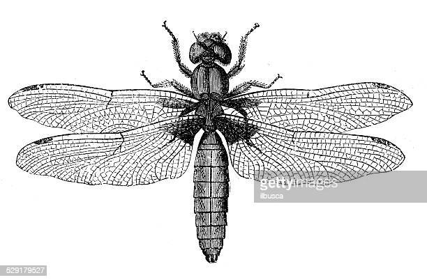 Antique illustration of Libellula depressa (broad-bodied chaser or broad-bodied darter)
