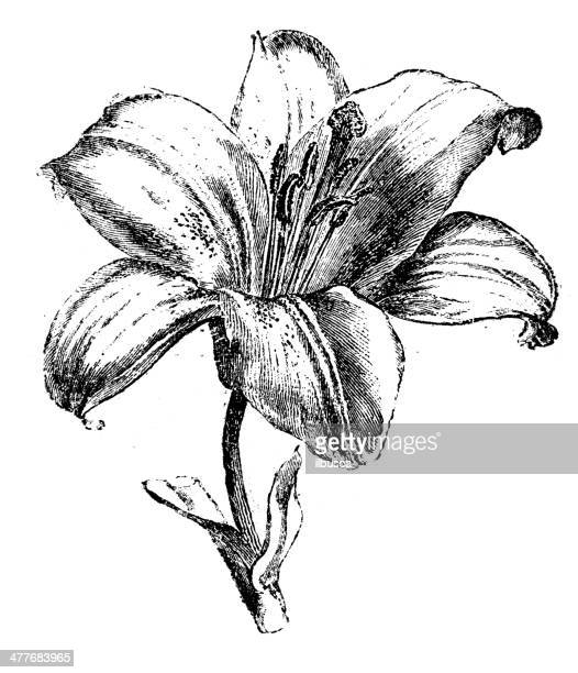 antique illustration of lily - lily stock illustrations, clip art, cartoons, & icons