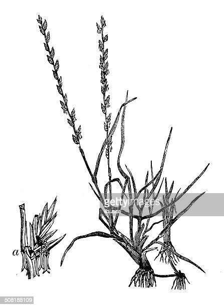 antique illustration of lolium perenne (perennial ryegrass) - perennial stock illustrations, clip art, cartoons, & icons