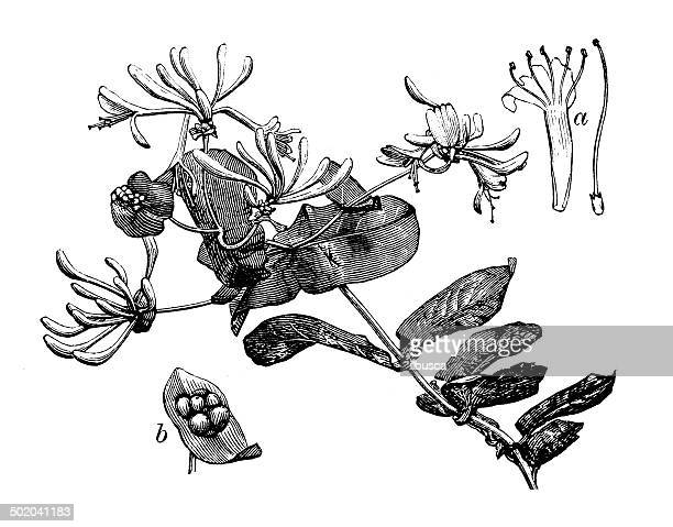 antique illustration of lonicera caprifolium (goat-leaf honeysuckle, italian honeysuckle) - arrowwood stock illustrations, clip art, cartoons, & icons
