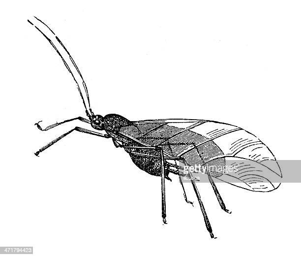 antique illustration of macrosiphum rosae - aphid stock illustrations