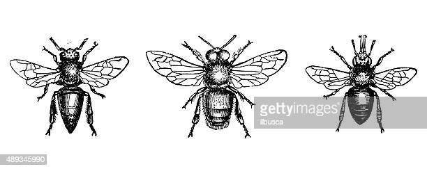 Antique illustration of male, female, worker of honey bee