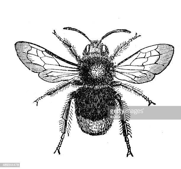 bildbanksillustrationer, clip art samt tecknat material och ikoner med antique illustration of male red-tailed bumblebee (bombus lapidarius) - bumblebee
