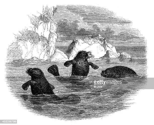 Antique illustration of Manatees (Trichechus)