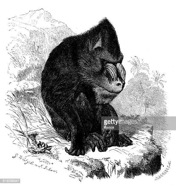 antique illustration of mandrill (mandrillus sphinx) - mandrill stock illustrations, clip art, cartoons, & icons