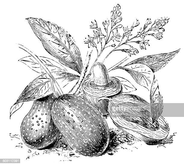 antique illustration of mango (mangifera indica) - mango fruit stock illustrations, clip art, cartoons, & icons