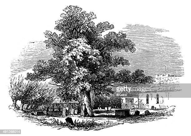 antique illustration of maple in churchyard - plant attribute stock illustrations, clip art, cartoons, & icons