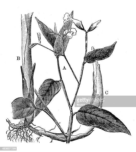 antique illustration of maranta arundinacea (arrowroot maranta) - arrowwood stock illustrations, clip art, cartoons, & icons