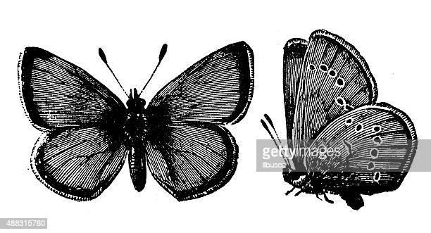 Antique illustration of Mazarine Blue butterfly (Polyommatus semiargus)