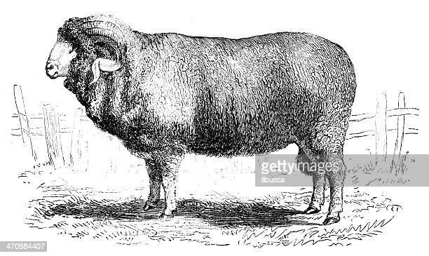 Antique illustration of Merino ram