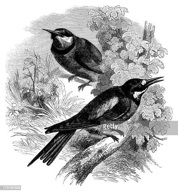 Merops apiaster ilustración de antigüedades
