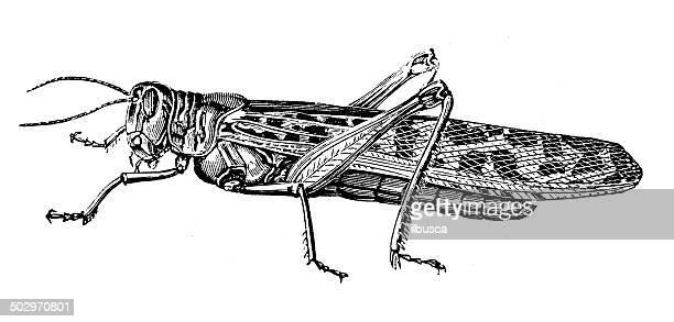 Antique illustration of migratory locust (Locusta migratoria)