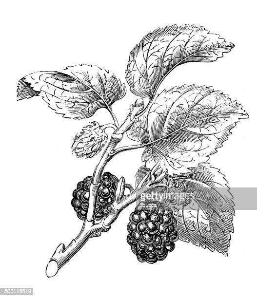 アンティークのイラスト morus nigra (ブラックのマルベリー) - マルベリー点のイラスト素材/クリップアート素材/マンガ素材/アイコン素材