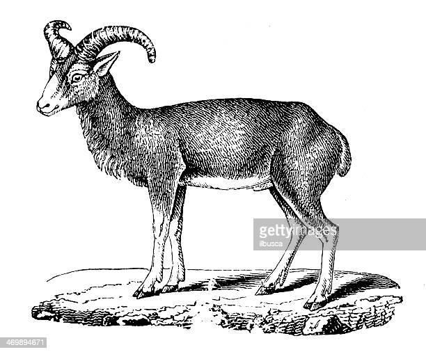 antique illustration of mouflon (ovis orientalis orientalis) - corsica stock illustrations, clip art, cartoons, & icons