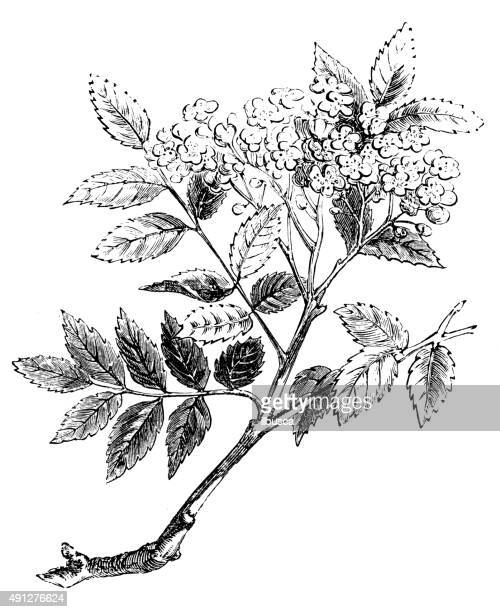 antique illustration of mountain ash tree - ash stock illustrations, clip art, cartoons, & icons