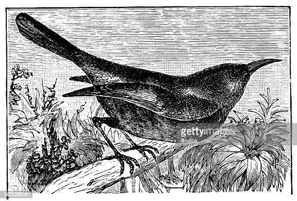 antique illustration of new holland honey-eater (meliphaga novae-hollandiae) - lancaster county pennsylvania stock illustrations, clip art, cartoons, & icons