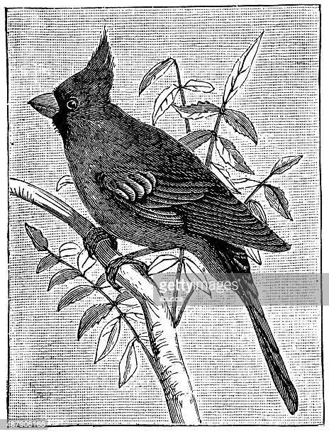 antique illustration of northern cardinal (cardinalis cardinalis) - cardinal bird stock illustrations, clip art, cartoons, & icons