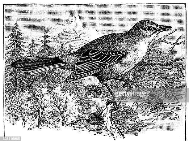 antique illustration of northern mockingbird (mimus polyglottos) - mockingbird stock illustrations, clip art, cartoons, & icons