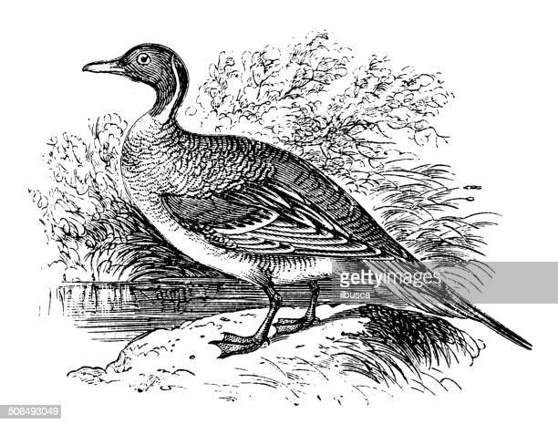 Antique illustration of northern pintail (Anas acuta)