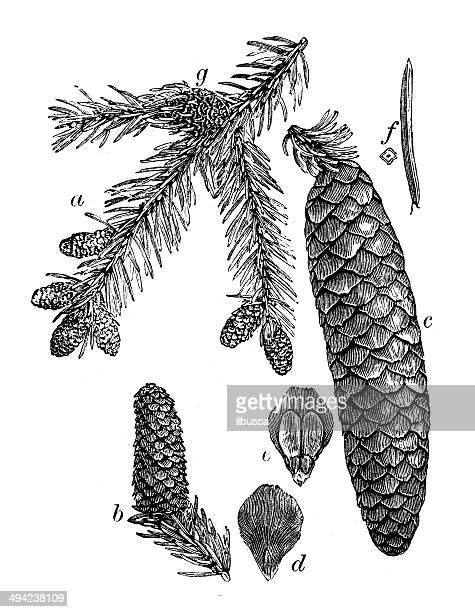 illustrazioni stock, clip art, cartoni animati e icone di tendenza di illustrazione d'epoca della norvegia spruce (picea abies) - peccio