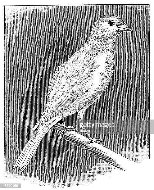 Antique illustration of Norwich canary