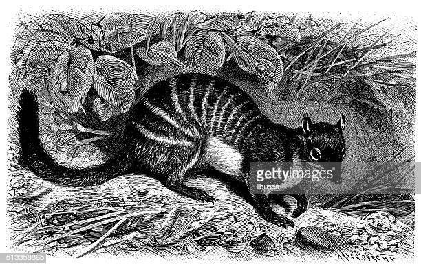 illustrations, cliparts, dessins animés et icônes de ancienne illustration de numbat (myrmecobius fasciatus) - anteater