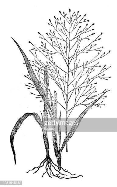 """illustrazioni stock, clip art, cartoni animati e icone di tendenza di antique illustration of old witch grass - """"ilbusca"""""""