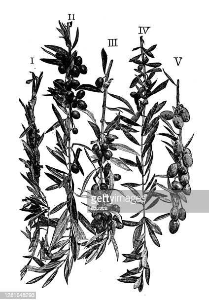 """illustrazioni stock, clip art, cartoni animati e icone di tendenza di antique illustration of olive branches in fruit - """"ilbusca"""""""