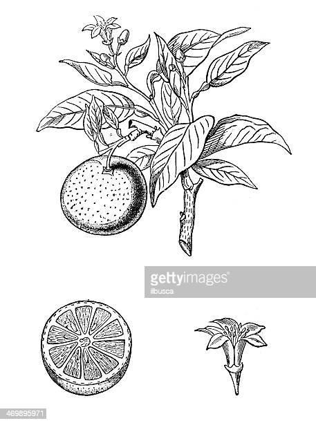 ilustrações de stock, clip art, desenhos animados e ícones de antiguidade ilustração de laranja (citrus sinensis) - laranjeira