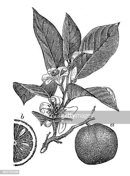 antique illustration of orange - citrus fruit stock illustrations, clip art, cartoons, & icons