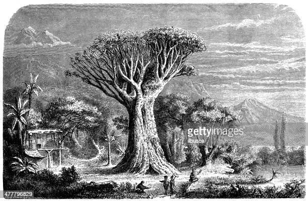 Antique illustration of orotava dragon tree, Tenerife