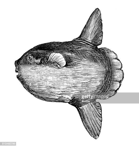 ilustraciones, imágenes clip art, dibujos animados e iconos de stock de anticuario ilustración de orthagoriscus mola, mola ramsayi (corto sunfish) - mola