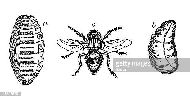 antique illustration of ox botfly - wild cattle stock illustrations, clip art, cartoons, & icons