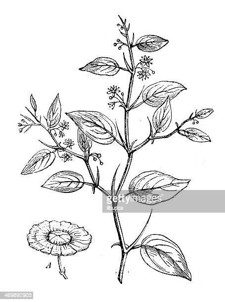 ilustraciones, imágenes clip art, dibujos animados e iconos de stock de anticuario ilustración de paliurus spina-christi (jerusalén thorn, garland thorn) - corona de espinas
