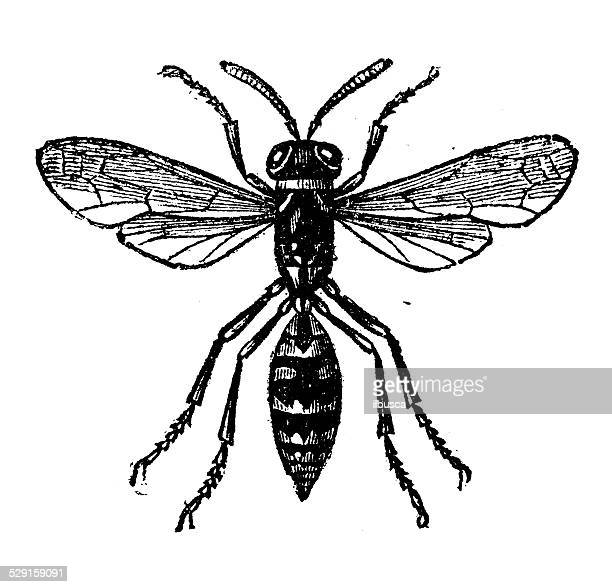 antique illustration of paper wasp - paper wasp stock illustrations