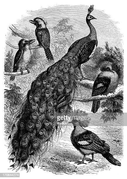 antique illustration of peacock and other birds - other stock illustrations, clip art, cartoons, & icons