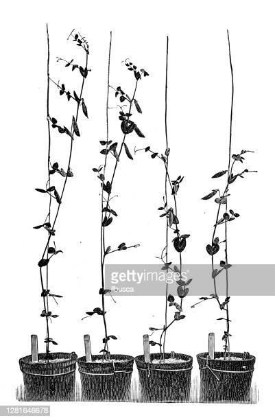 """illustrazioni stock, clip art, cartoni animati e icone di tendenza di antique illustration of peas cultivation experiments - """"ilbusca"""""""