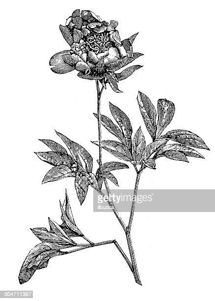 Antique illustration of peony