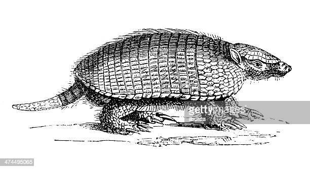 Antique illustration of pichi (Zaedyus pichiy) or dwarf armadillo