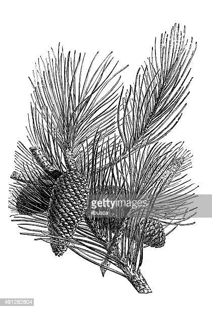 antique illustration of pinaster or maritime pine - pine wood material stock illustrations, clip art, cartoons, & icons