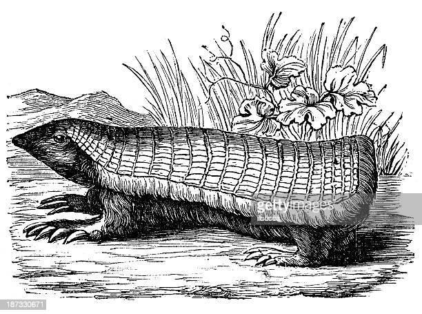 Antique illustration of pink fairy armadillo (Chlamyphorus truncatus) or pichiciego