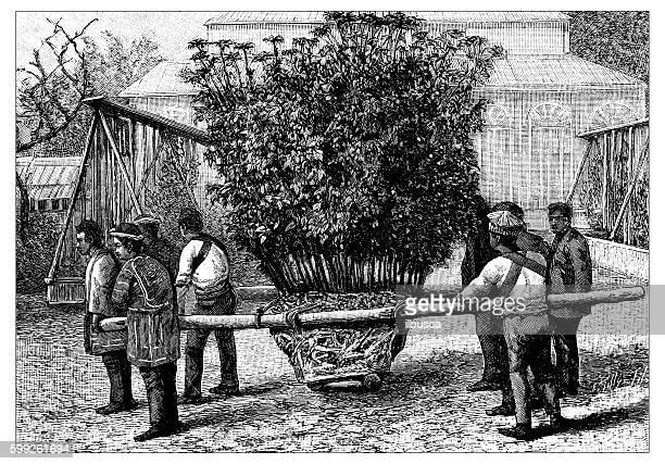 antique illustration of planting a chrysanthemum - landscape gardener stock illustrations, clip art, cartoons, & icons